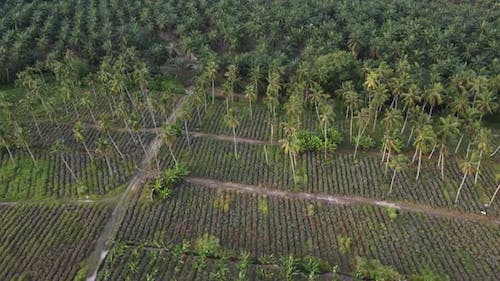 Pineapple and coconut farm