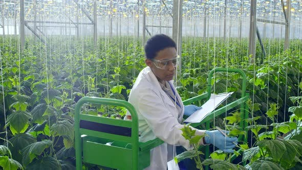 African Scientist Inspecting Plants in Greenhouse