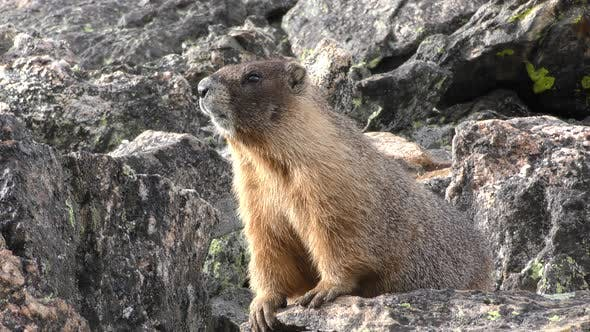 Yellow-bellied Marmot Looking Around and at Camera in Rockpile Rocks
