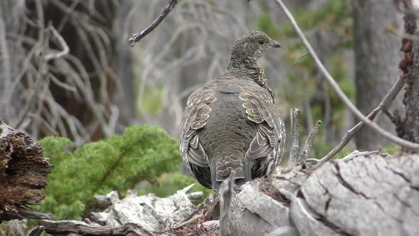 Thumbnail for Dusky Grouse Bird Preening Feathers in Conifer Forest in Summer in Wyoming