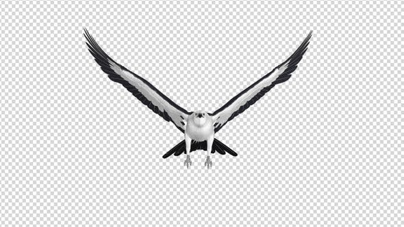 Swallowtail Kite - 4K Flying Loop - Front View