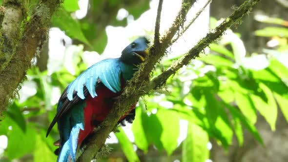 Cover Image for Colorful Male Quetzal in his Natural Habitat in the Forest