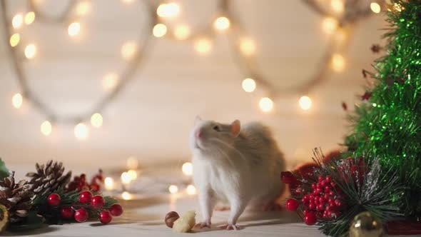 Cover Image for New Year Concept. Cute White Domestic Rat in a New Year's Decor. Symbol of the Year 2020 Is a Rat