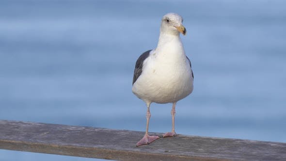 Thumbnail for A white seagull rests near the Pacific Ocean