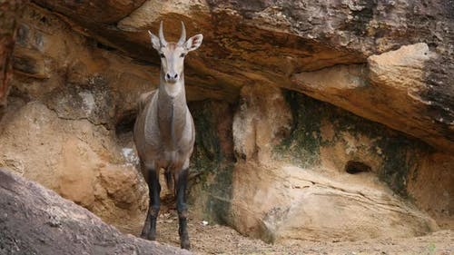 Common Eland animal life in the wild