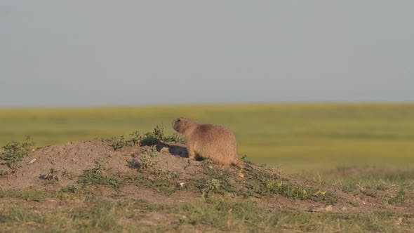 Thumbnail for Black-tailed Prairie Dog Adult Pair Prairie Dogs Bonding Affection in Summer