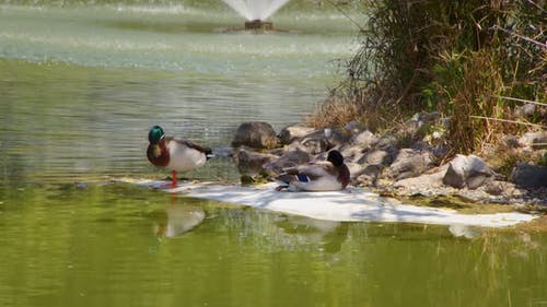 Animal Ducks Near The Lake Water