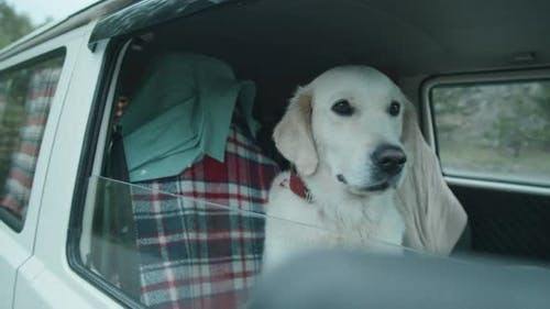 Cute Golder Retriever Dog in Van