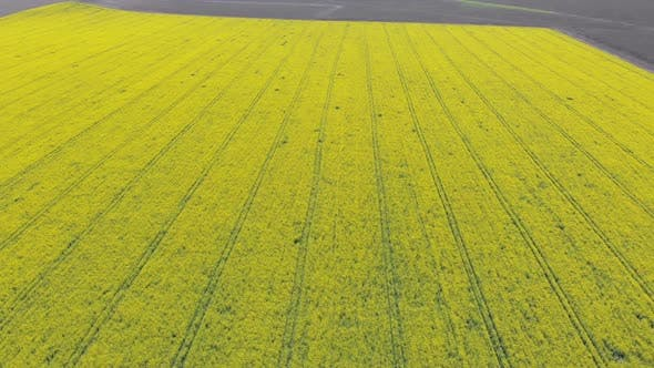 Thumbnail for Aerial Drone View of Yellow Canola Field. Harvest Blooms Yellow Flowers Canola Oilseed.