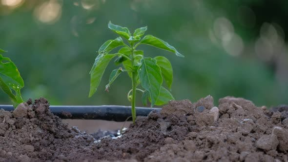 Thumbnail for Drip Irrigation