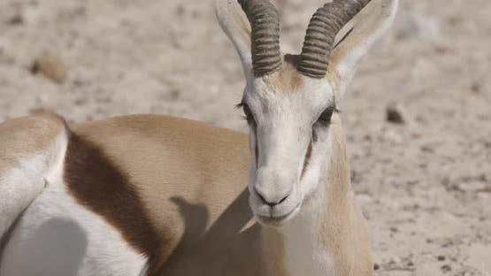 Springbok Chewing