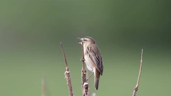 Small song bird Sedge warbler, Europe wildlife