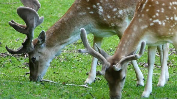 Thumbnail for Close up From Deers Eating Grass
