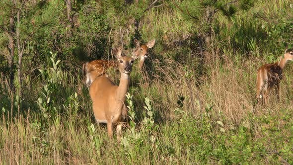 Thumbnail for White-tailed Deer Doe Fawn Family with Twins in Forest in Spring