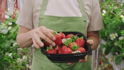 Nursery Worker With Picked Strawberries