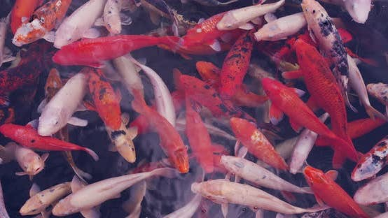 Thumbnail for Colorful Koi Fish in the Pond with Dark Colored Ground Moving Around.