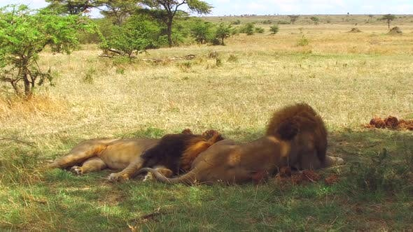 Thumbnail for Male Lions Resting in Savannah at Africa
