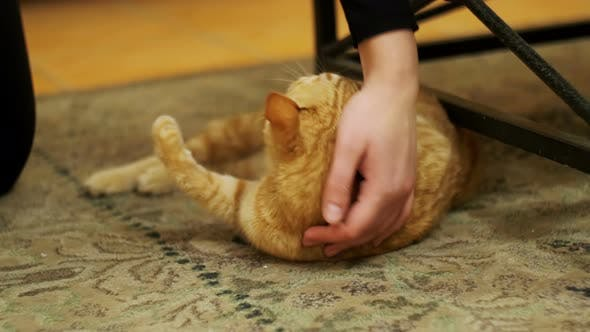 Thumbnail for Woman Stroking a Red Cat Lying on the Carpet.