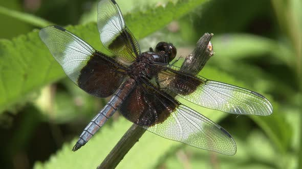 Dragonfly Lone in Summer in South Dakota United States