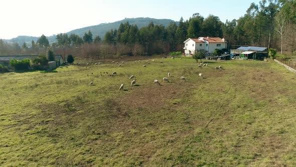 Thumbnail for Drone Sheep Herding