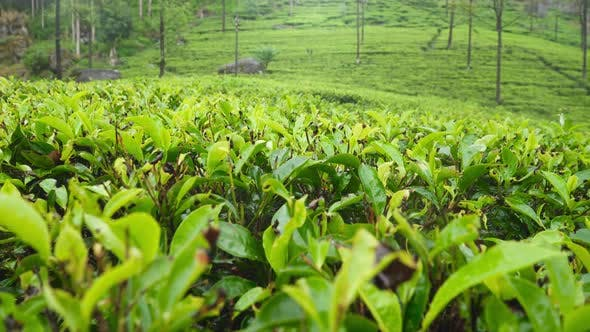Thumbnail for Beautiful Panoramic Footage of Highland Tea Plantation at Morning in Mountains of Sri Lanka