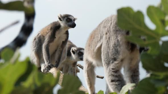 Thumbnail for Four Furry Lemurs Moving on Leafy Trees and Entertaining on a Sunny Day in Summer