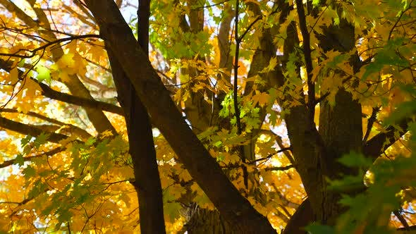 Thumbnail for Looking Up At A Large Tree With Colorful Leaves In The Fall 4