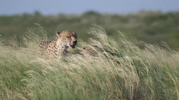 Thumbnail for Two Cheetahs in high grass at the Central Kalahari Game Reserve in Botswana