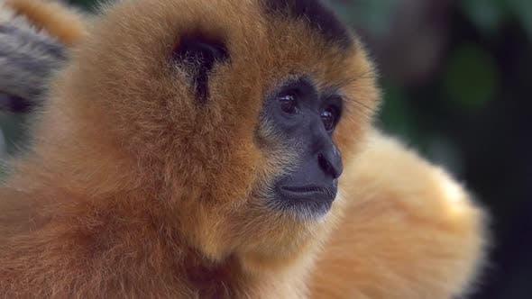 Thumbnail for Gibbon Monkey