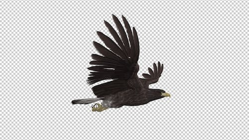 Eurasian White-tailed Eagle - Flying Loop - Side View