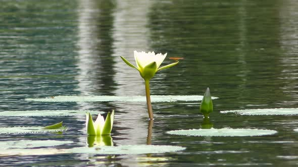 Cover Image for Dragonfly Sits on White Lilly Flower in the Pond
