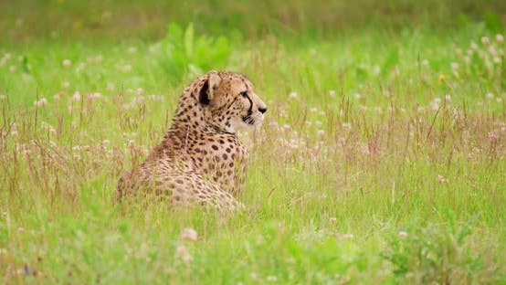 Alert Cheetah Lying on Field in Forest