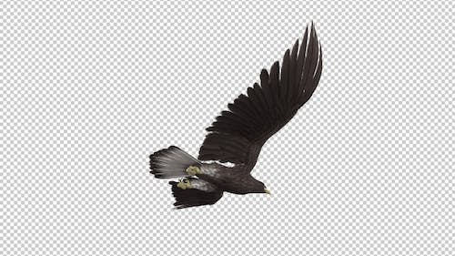 Eurasian White-tailed Eagle - Flying Loop - Down Angle View