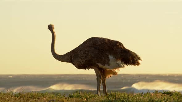 Thumbnail for An Ostrich Pecking on the Grass with Flock of Birds in the Background