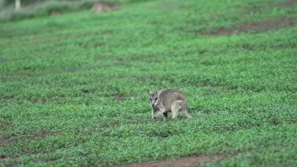 Little Wallaby in Mission Beach