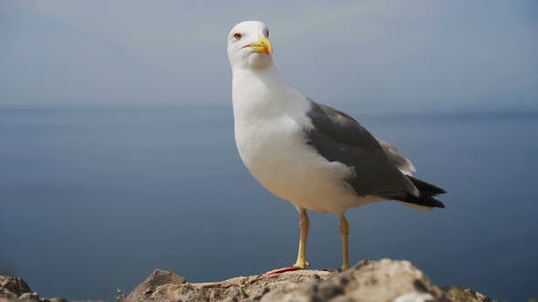 Thumbnail for Close Up View of Seagull Portrait Against Sea Shore.