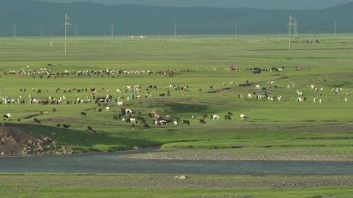 Husbandry Herds in the Mongolian Steppes