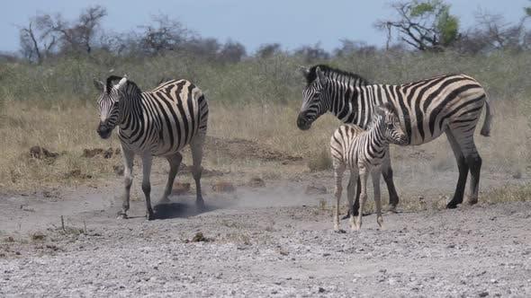 Herd of zebras on a dry savanna