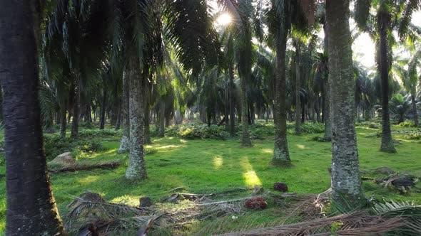 Move toward oil palm fruit and farm