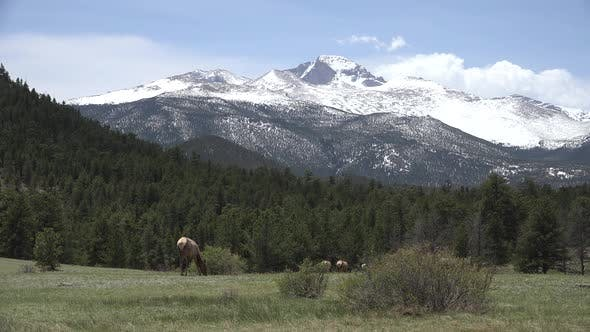 Thumbnail for Elk Cow Female Adult Herd Many Eating Feeding in Spring Mountains Scenery