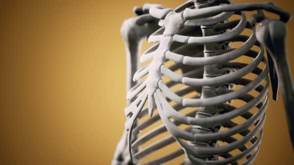 Thumbnail for Full Human Skeleton Standing