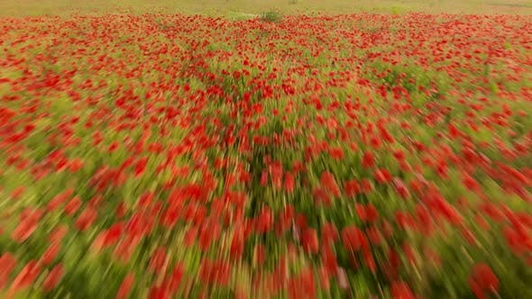 Flight Over Red Field of Poppies