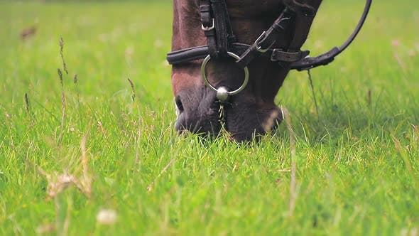 Thumbnail for Brown Horse Eating Green Grass Close Up. Muzzle of a Horse That Chews and Eats Green Grass on a