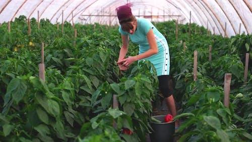 Female Farmer Harvesting Bell Pepper at Greenhouse
