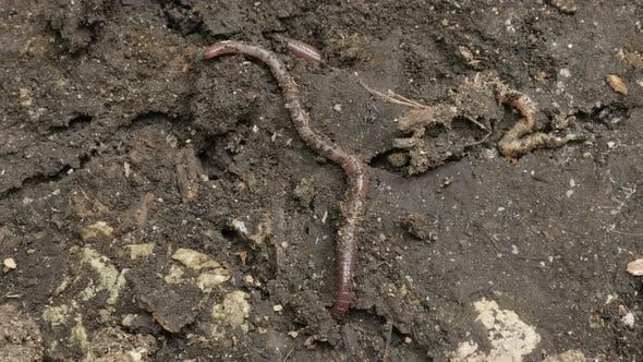 Thumbnail for Lumbricus terrestris dew earth worm 4K footage