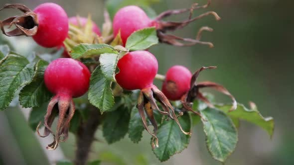 Thumbnail for Rosehip Fruit and Leaves in Autumn Forest
