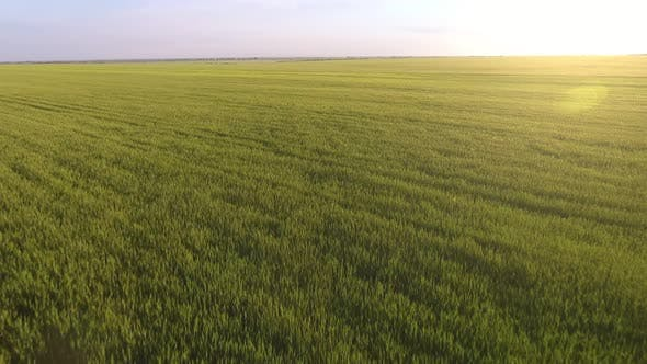 Thumbnail for Aerial of the Rusty Green Wheat Field with Fluttering Plants at Gorgeous  Sunset