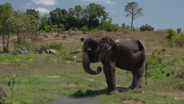 Thumbnail for Elephant Getting Wet With Its Trunk