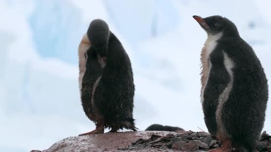 Thumbnail for Gentoo Penguins