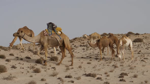 Cover Image for Herd of dromedary camels